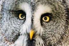 Övre framsida för slut och ögon av stora Grey Owl Or Great Gray Owl Strix Royaltyfria Bilder