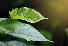 Övre gröna mullbärsträdsidor för slut med reflekterande strålsolljus på bakgrund för mörk svart fotografering för bildbyråer
