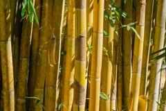 Övre gul bambubakgrund för slut i natur Royaltyfri Fotografi