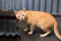 Övre gul hemlös katt för slut Royaltyfri Bild