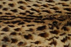Övre modell för slut av leopardhud Arkivbild