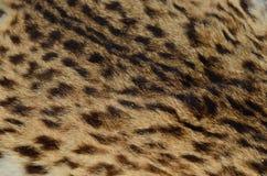 Övre modell för slut av leopardhud Fotografering för Bildbyråer