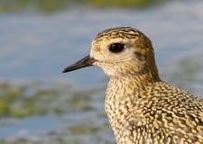Övre och detaljerad sikt för extra slut på huvudet av den guld- brockfågeln royaltyfri fotografi