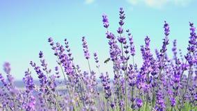 Övre pannaskott för slut av lavendelblommor Lavendelfält och blå himmel på bakgrunden i mjuk fokus Lavandulablommor lager videofilmer