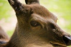 Övre profil för slut av den kvinnliga framsidan och ögat för röda hjortar (cervusen Elaphus) Royaltyfria Foton