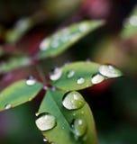 Övre regndroppe för slut på tjänstledigheterna av rosor på en regnig dag Arkivfoto