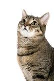 Övre seende katt Royaltyfri Fotografi