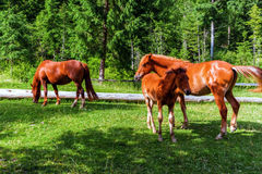 övre sikt för carpathian berg Hästar som betar i ängen Royaltyfri Fotografi