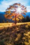 övre sikt för carpathian berg Höstträd i strålarna av inställningssolen på en bakgrund av berg arkivbild