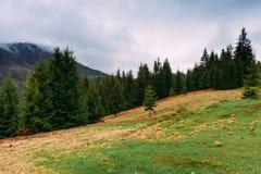övre sikt för carpathian berg Landskap med granar på en molnig dag Ukrai Royaltyfria Bilder