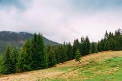 övre sikt för carpathian berg Landskap med granar Ukrai Royaltyfria Foton