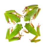 övre sikt för fyra grodor Fotografering för Bildbyråer