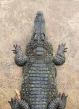 övre sikt för krokodil Royaltyfria Bilder