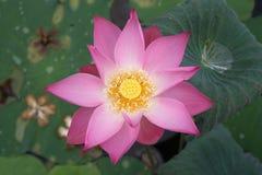 övre sikt för lotusblomma Arkivbild