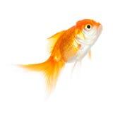 Övre sikt för slut av att simma den skinande fisken Royaltyfri Fotografi