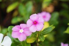 Övre sikt för slut av den purpurfärgade Catharanthusroseusblomman Royaltyfria Foton