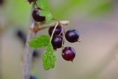Övre sikt för slut av den svarta vinbäret Svarta bär och gräsplansidor i fokus Royaltyfri Foto