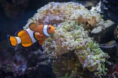 Övre sikt för slut av en clownfisk nära en anemon Arkivbilder