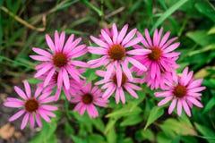 Övre sikt för slut av en grupp av rosa Daisy Flowers royaltyfri fotografi