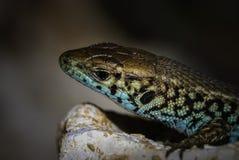 Övre sikt för slut av en kulör reptil Royaltyfri Fotografi