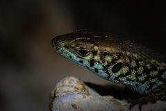 Övre sikt för slut av en kulör reptil Arkivbild