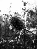 Övre sikt för slut av en Thistel växt Arkivbild