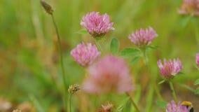 Övre sikt för slut av humlan på blomman för röd växt av släktet Trifolium lager videofilmer