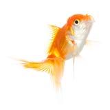 Övre sikt för slut av simninggoldenfish arkivbilder