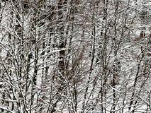 Övre sikt för slut av snö-täckte träd i vinter som en abstrakt bakgrund Royaltyfri Fotografi