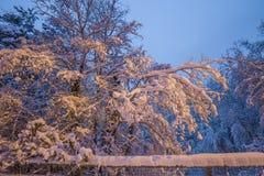 Övre sikt för slut av trädfilialer som täckas i ny stupad snö Royaltyfri Fotografi