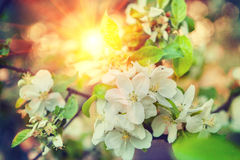 Övre sikt för slut på blossomongfilial av äppleträdet på suddig baksida Royaltyfri Foto