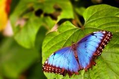 Övresida av den blåa Morpho fjärilen Arkivbild