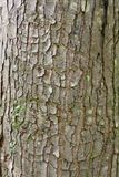 Úlcera do alvo na casca de árvore do bordo vermelho Foto de Stock Royalty Free