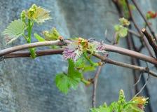 A úlcera e a antracnose, a úlcera da uva, o lata de Eutypa do Inoperante-braço e o viticola de Phomopsis referem geralmente muito foto de stock royalty free