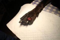 Úlcera en la extremidad del perro Fotos de archivo libres de regalías