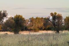 Última luz do por do sol no bosque verde-oliva em Salento foto de stock
