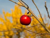 A última maçã na árvore Imagens de Stock Royalty Free