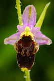 Última orquídea de araña, holosericea del Ophrys, orquídea salvaje terrestre europea floreciente, hábitat de la naturaleza, detal Foto de archivo