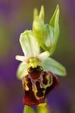 Última orquídea de araña, holosericea del Ophrys, orquídea salvaje terrestre europea floreciente, hábitat de la naturaleza, detal Imágenes de archivo libres de regalías