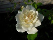 Última Rosa branca do verão Fotos de Stock