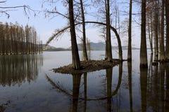 Última secoya del otoño Foto de archivo libre de regalías