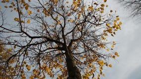 Últimas folhas em uma árvore de Linden video estoque