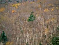 Último otoño en el bosque del Estado blanco de la montaña, New Hampshire septentrional Foto de archivo libre de regalías