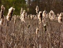 Últimos Cattails del invierno Imagen de archivo libre de regalías