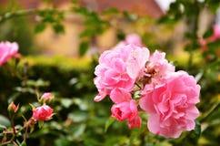 Últimos oses cor-de-rosa na estação Fotografia de Stock Royalty Free