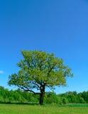 Única árvore fotografia de stock royalty free