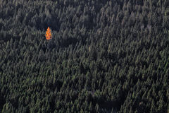 Única árvore alaranjada na floresta verde Fotografia de Stock Royalty Free
