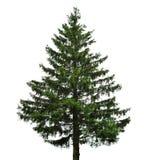 Única árvore de abeto Imagens de Stock Royalty Free