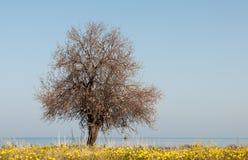Única árvore de amêndoa de florescência na mola Fotografia de Stock