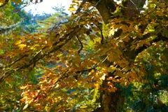Única árvore de bordo alaranjada no outono da queda imagem de stock
